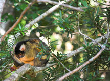 Cute squirrel monkey (Saimiri) Royalty Free Stock Photography