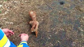 Cute squirrel moves in slow motion. Suited to human hands and then runs away. stock footage