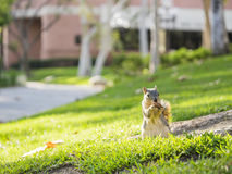 Cute squirrel with nut Stock Photos