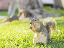 Cute squirrel with nut Royalty Free Stock Photo