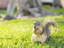 Cute squirrel with nut Stock Photography