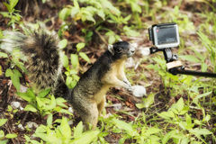 Cute squirrel out his hand to the small camera and makes selfie. Cute Gray Squirrel out his hand to small camera and makes selfie Royalty Free Stock Photo