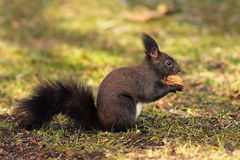 Cute squirrel from the park Royalty Free Stock Image