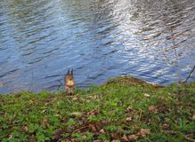Cute squirrel in the park standing on the grass on the river bank royalty free stock photo