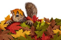 Cute Squirrel Playing In Leaves Stock Image