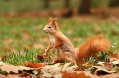 Cute squirrel Stock Image