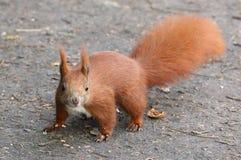 Cute Squirrel Stock Image