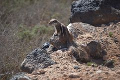 A cute squirrel on the rock. A cute squirrel sitting on the rock Stock Images