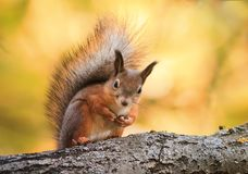 Cute squirrel sits on tree and looks ridiculous in the autumn Pa Royalty Free Stock Photos