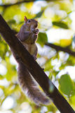 Cute squirrel sitting on a branch Royalty Free Stock Photography