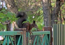 Cute squirrel sitting on the old peeling fence. Cute squirrel with puffy tail sitting on the old peeling fence Stock Photography