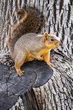 Cute squirrel on the tree stock photography