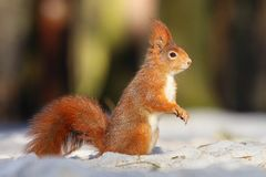 Cute squirrel on snow Royalty Free Stock Images