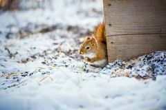 Cute squirrel with snow in winter stock photography