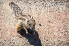 Cute squirrel on Sotavento Beach in Fuerteventura, Spain. Cute squirrel on Sotavento Beach in Fuerteventura, Canary Islands, Spain royalty free stock photos