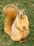 Cute Squirrel Standing royalty free stock images
