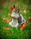 Cute Squirrel Standing in Grass Closeup Royalty Free Stock Photos