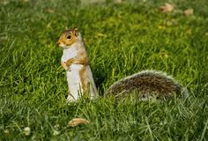 One Brown Squirrel Standing on Hind Legs in Green Grass Royalty Free Stock Images