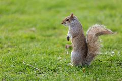 Cute squirrel Royalty Free Stock Photo
