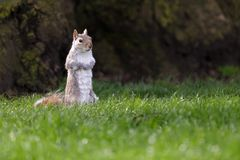 Cute squirrel Stock Images