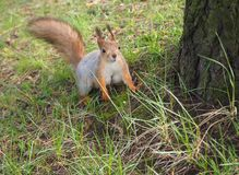Adorable little squirrel is standing near the tree in the park stock images
