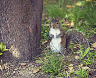 Cute squirrel standing. Portrait of brown squirrel standing near a tree trunk with a surprised look Stock Image