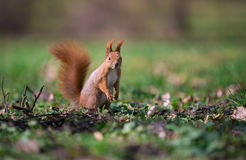 Cute squirrel standing on two paws. Royalty Free Stock Photography