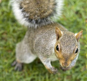Cute squirrel standing upright Stock Photography
