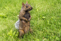 Cute Squirrel in Summer Stock Images