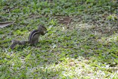 Squirrel Tamias striatus Royalty Free Stock Images
