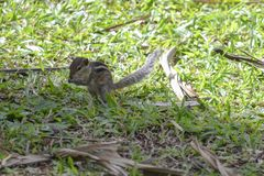 Squirrel Tamias striatus Royalty Free Stock Image