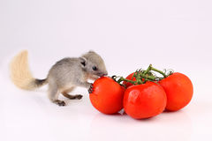 Cute squirrel with tomatoes  on white background Royalty Free Stock Photography