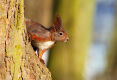 Cute squirrel on tree Royalty Free Stock Photos