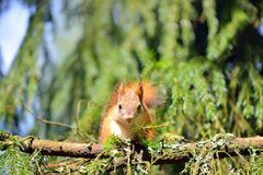Cute squirrel on a tree branch Royalty Free Stock Photos