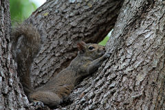 Cute squirrel on tree Royalty Free Stock Photography