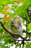 Cute squirrel, in a tree, eating an acorn Stock Image