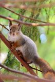 Cute squirrel in a tree Royalty Free Stock Photography