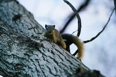 Cute Squirrel on the tree. Stock Photos