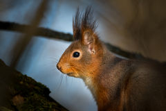 Cute squirrel in a tree. The squirrel sits in a tree and taking it easy stock photography