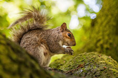 Cute squirrel in a tree Stock Photo