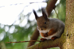 Cute squirrel in a tree Stock Photos