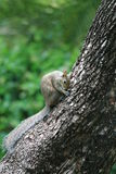 Cute squirrel on tree trunk. Cute bushy tailed grey squirrel on tree trunk side. south Florida Stock Image