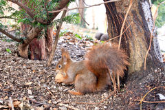 Cute squirrel in Vienna Stock Photo