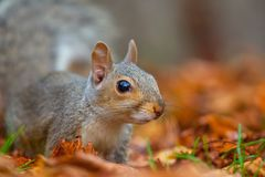 Cute squirrel in the wild with autumn leaves as background royalty free stock image