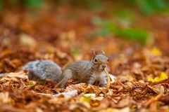 Cute squirrel in the wild with autumn leaves as background royalty free stock photos
