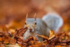 Cute squirrel in the wild with autumn leaves as background stock image