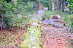 Cute squirrel with winter fur on tree trunk Royalty Free Stock Photography