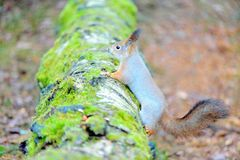 Cute squirrel with winter fur on tree trunk Stock Photos