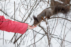 Cute squirrel at winter scene, feeding, snowy park or forest Stock Photography
