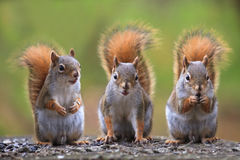 Cute squirrels. Three cute little squirrels standing on the ground Royalty Free Stock Photos